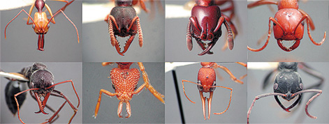 Morphological And Functional Diversity Of Ant Mandibles