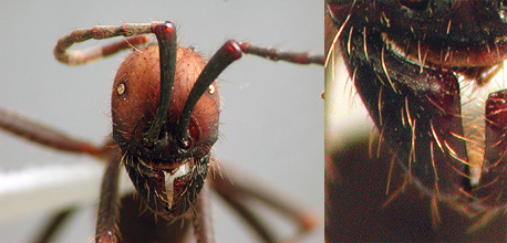 Eciton sp. media worker, face and mandible