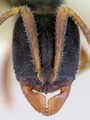 Ant small head8.jpg