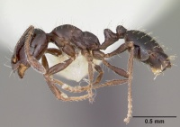Monomorium minimum casent0104789 profile 1.jpg