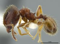 Pheidole bison jtlc000016329 p 1 high.jpg