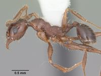 Pheidole obscurithorax casent0104420 profile 1.jpg