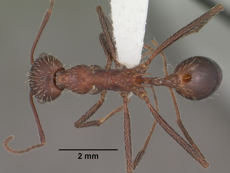 Dorsal view of ant Aphaenogaster albisetosa specimen casent0102824.