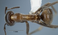 Iridomyrmex turbineus top view