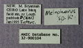 Melophorus longiceps minor labels ANIC32-900104.JPG