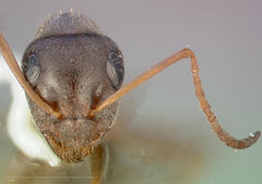 Formica canadensis casent0005362 head 1.jpg