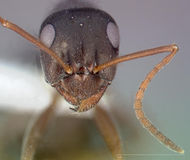 Formica microphthalma casent0005368 head 1.jpg