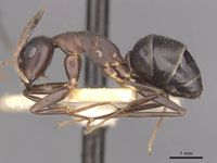 Camponotus thraso casent0910117 p 1 high.jpg