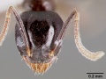 Technomyrmex difficilis casent0003175 head 1.jpg