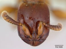 Acanthostichus brevicornis casent0173500 head 1.jpg