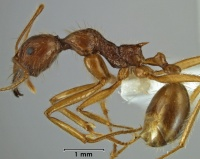 Aphaenogaster barbara side view