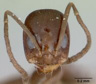 Dorymyrmex wheeleri casent0173018 head 1.jpg