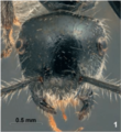 Fig. 1. Zettel and Laciny 2017, E. lateropilosa, holo, Head in full face view.png