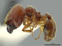 Pheidole coveri jtlc000016351 p 1 high.jpg