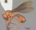 Trachymyrmex septentrionalis casent0102745 profile 2.jpg