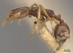 Monomorium ophthalmicum casent0908711 p 1 high.jpg