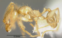 Pheidole hasticeps casent0635471 p 1 high.jpg