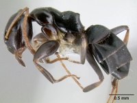 Camponotus conithorax casent0106008 p 1 high.jpg
