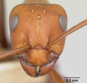 Formica laeviceps casent0103372 head 1.jpg