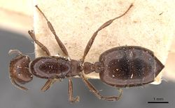 Crematogaster ancipitula casent0908498 d 1 high.jpg