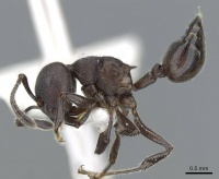 Crematogaster yamanei casent0905904 p 1 high.jpg