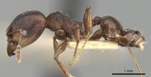 Pheidole optiva casent0281745 p 1 high.jpg