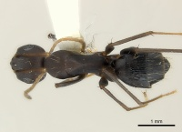 Camponotus acvapimensis casent0217601 d 1 high.jpg