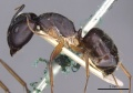 Camponotus thraso casent0910128 p 1 high.jpg