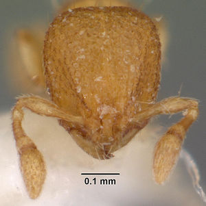 Carebara distincta casent0010802 head 1.jpg
