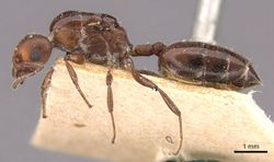 Crematogaster ancipitula casent0908498 p 1 high.jpg
