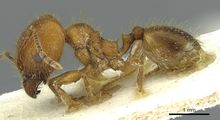 Pheidole industa casent0913428 p 1 high.jpg