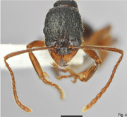 Fig. 4. Salata and Borowiec 2018, A. muschtaidica worker, head and antennae.png