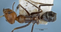 Iridomyrmex rubriceps top view