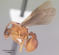Trachymyrmex septentrionalis casent0102746 profile 2.jpg