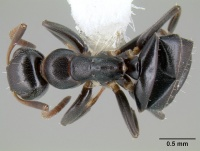 Camponotus conithorax casent0106008 d 1 high.jpg