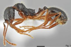 Fig. 1. Salata and Borowiec 2018, A. muschtaidica worker lateral view.png