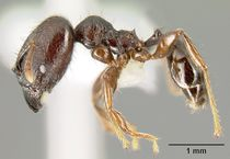 Pheidole walkeri casent0609592 p 1 high.jpg