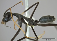 Leptomyrmex unicolor side view