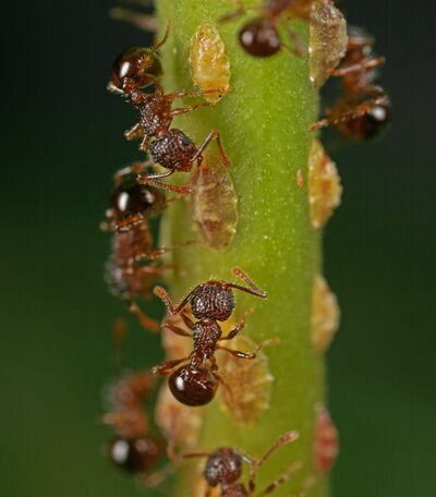 Pristomyrmex punctatus with scale insects (Seidai Nagashima).jpg