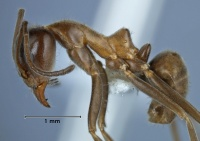 Iridomyrmex turbineus side view