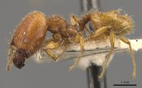 Pheidole antillana casent0908170 p 1 high.jpg